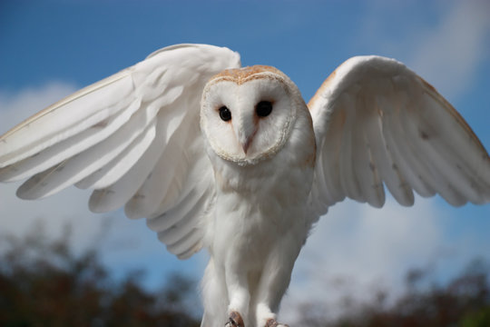 Image result for barn owl wings spread eyes squint