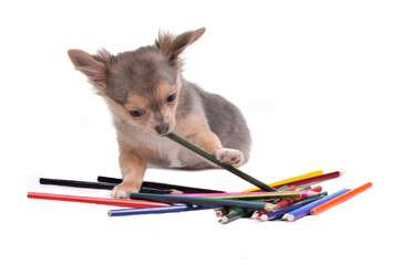 Curious chihuahua puppy playing with colorful pencils isolated