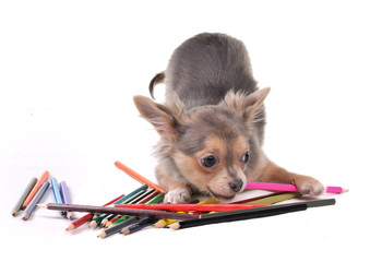 Chihuahua puppy playing with colorful pencils drawing a picture