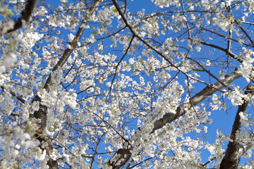 White Japanese Cherry Blossoms Blue Sky Washington