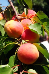 ripe peaches on a green branch