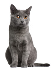 Fototapete - Chartreux kitten, 5 months old, in front of white background
