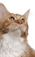 Close-up of Maine Coon kitten, 7 months old