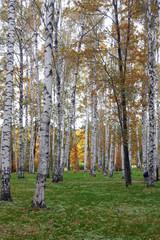 Spoed Foto op Canvas Berkbosje birch trees in early autumn