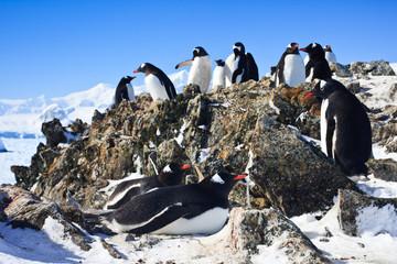 penguins on rock