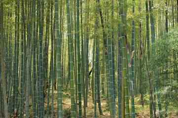 foresta di bambù 01