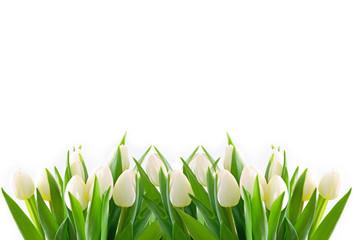 Fototapeta weiße tulpen obraz