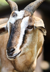 Close-up picture of a goat in farm