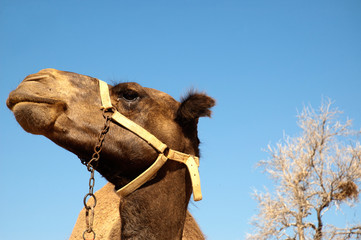 Close up camel head opposite blue sky