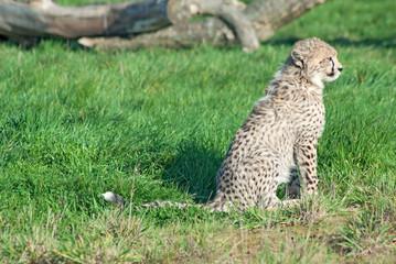 Wall Mural - Cheetah (A. Jubatus) cub sits in the grass