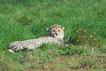 Wall Mural - Cheetah (A. Jubatus) cub rests in the grass