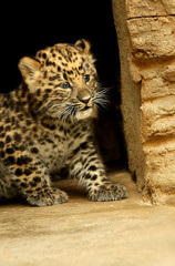 Baby of Leopard