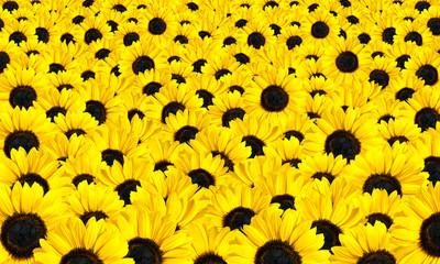 Fresh Sunflowers Background