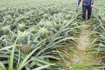 farmer planting pineapple fruit in field.