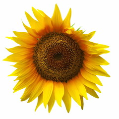 Yellow sunflower isolated on white background