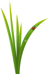 Herbe_Coccinelle
