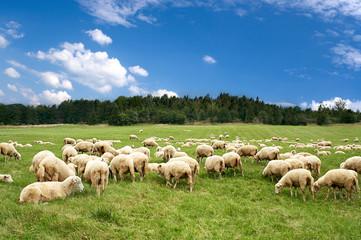 Foto op Canvas Schapen A lot sheep on green meadow