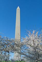 Cherry Blossoms Surrounding Washington Monument DC