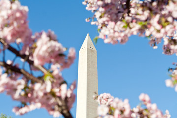 Washington Monument Surrounded Cherry Blossoms DC