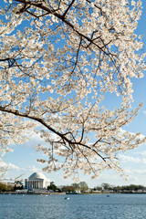 Cherry Blossoms Tidal Basin Jefferson Memorial DC