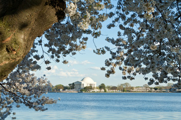 Jefferson Memorial Cherry Blossoms Tidal Basin DC