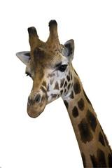 Head of a Rotschild giraffe (Giraffa camelopardalis rotschildi)
