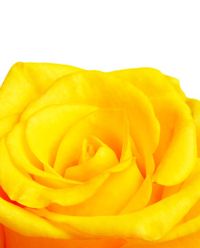 Yellow rose border