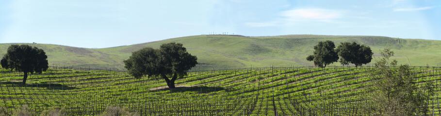 dormant grape vines in spring panorama