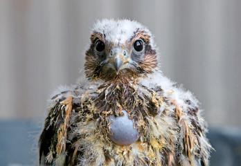Young Falcon - Falco cherrug