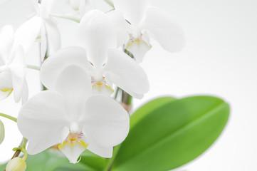 並んだ胡蝶蘭