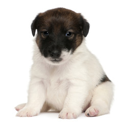 Fox terrier puppy, 1 month old, sitting