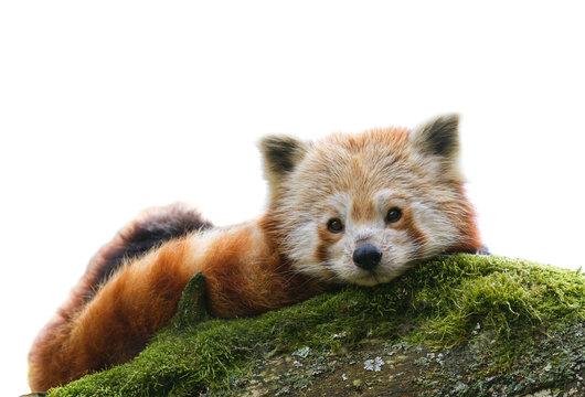 Red Panda Ailurus fulgens  isolated
