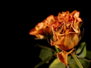 A bunch of withered roses