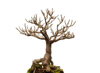 Leafless bonsai plant isolated on white background