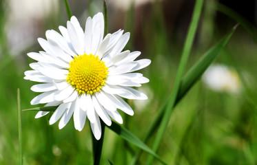 Wiesenblume