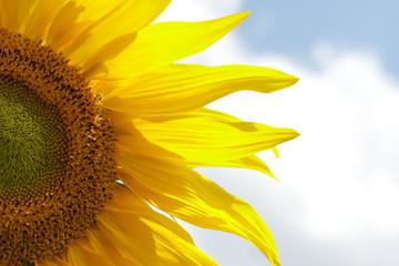 Vivid Yellow Sunflower