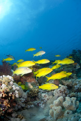 School of Yellowsaddle goatfish, foraging on coral reef.