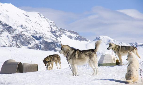 chien de traineau en montagne