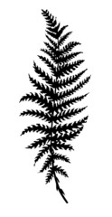 silhouette sheet fern on white background