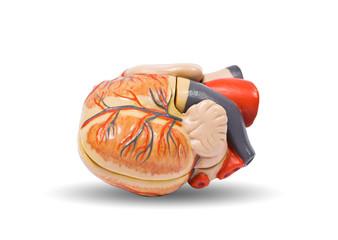 Human heart, medical visual aid