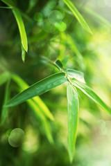 Fototapete - Bamboo Leaves