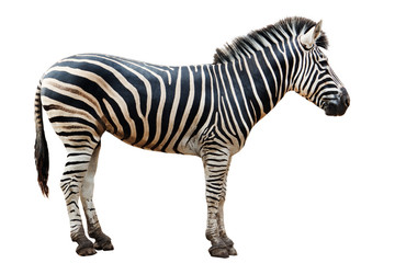 Wall Murals Zebra Zoo single burchell zebra isolated on white background