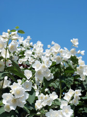 fresh jasmine with drops of rain