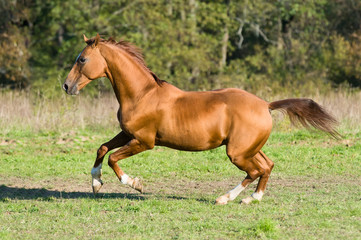 golden Don horse stallion runs gallop