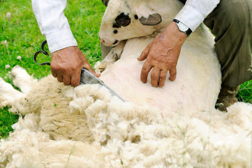 Fond de hotte en verre imprimé Sheep Shearing Sheep