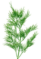 Fresh green dill  twigs, isolated