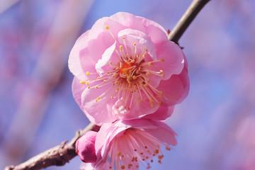 Pink plum blossom