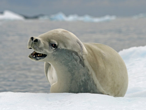 Crabeater Seal 11