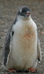 Gentoo penguin chick 12
