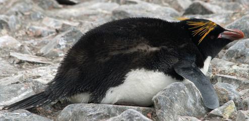 Macaroni penguin 2